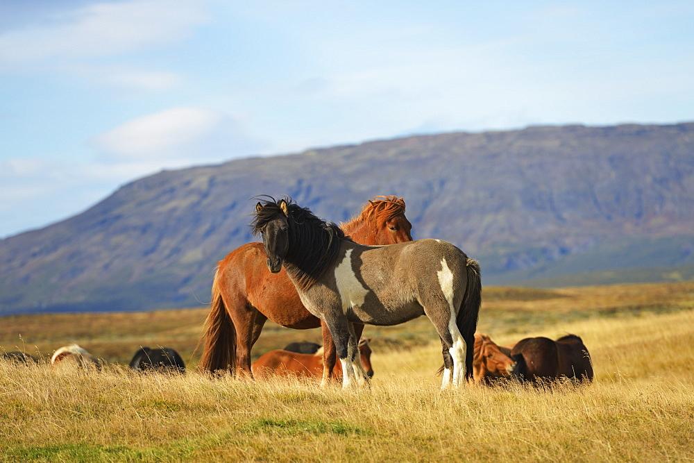 Icelandic Horses, Laugarvatn, Arnessysla, Iceland