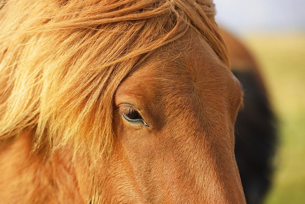Icelandic Horse, Laugarvatn, Arnessysla, Iceland