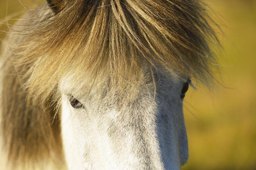 Close Up Of An Icelandic Horse, Nordur-Mulasysla, Eastern Fjords, Iceland