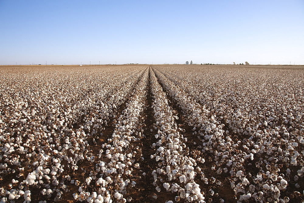 Agriculture - Large field of mature defoliated high-yield stripper cotton at harvest stage in Autumn. This crop has a yield potential of 3 to 4 bales per acre / West Texas, USA.