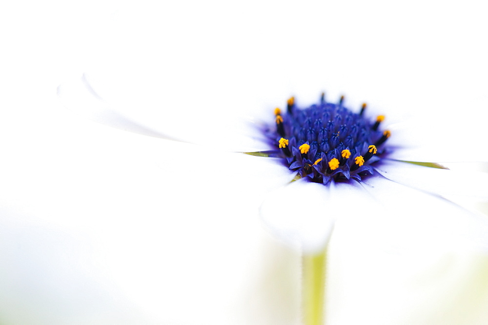 Macro Shot Of A White Daisy With A Purple And Yellow Center Against An Out-Of-Focus White Background, California, United States Of America