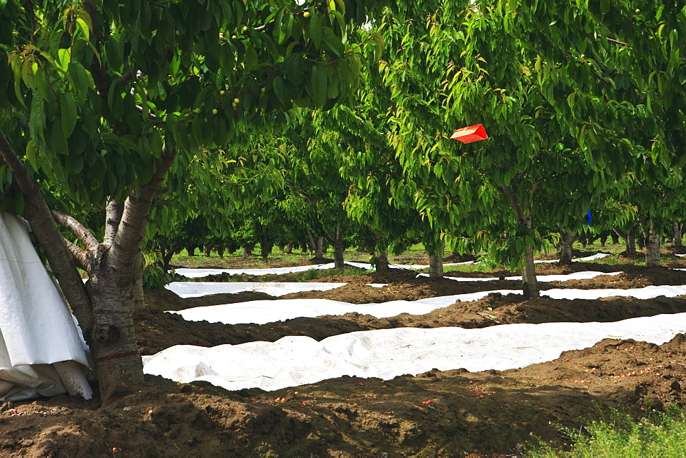 Agriculture - Obliquebanded leafroller (Choristoneura rosaceana) insect trap placed in a cherry orchard in Spring. Its function is an early-warning system to detect adult insect emergence and monitor pest populations so that timely control programs can be
