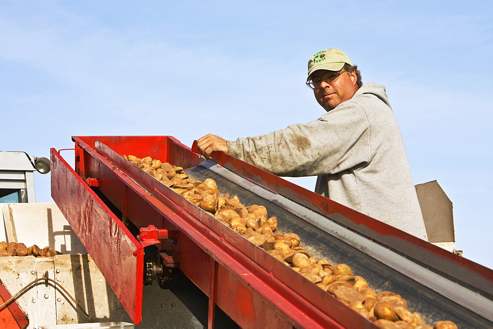 Agriculture - A farmer supervises the loading of seed potatoes during planting operations at a local family produce farm / Little Compton, Rhode Island, USA.