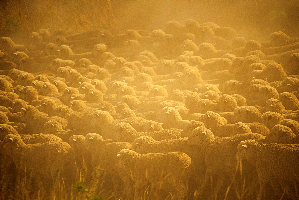 Livestock - Large flock of sheep bunched together on a dry dusty pasture / near Wanaka, New Zealand.
