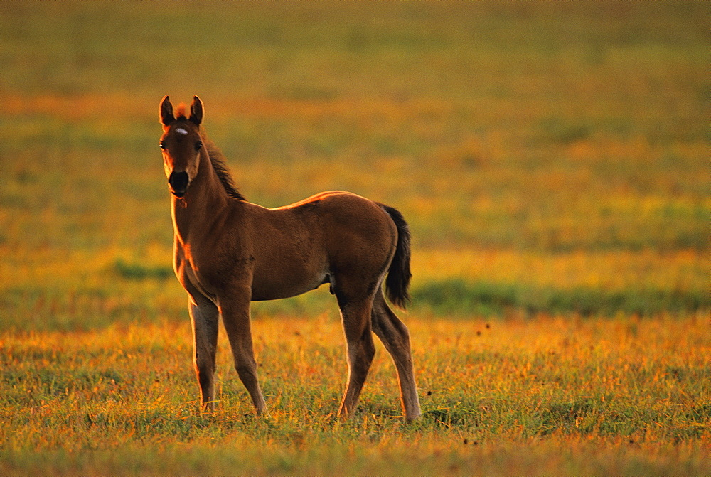 Livestock - A young colt standing at attention on a green pasture in late afternoon light / Douglas County, Wisconsin, USA.