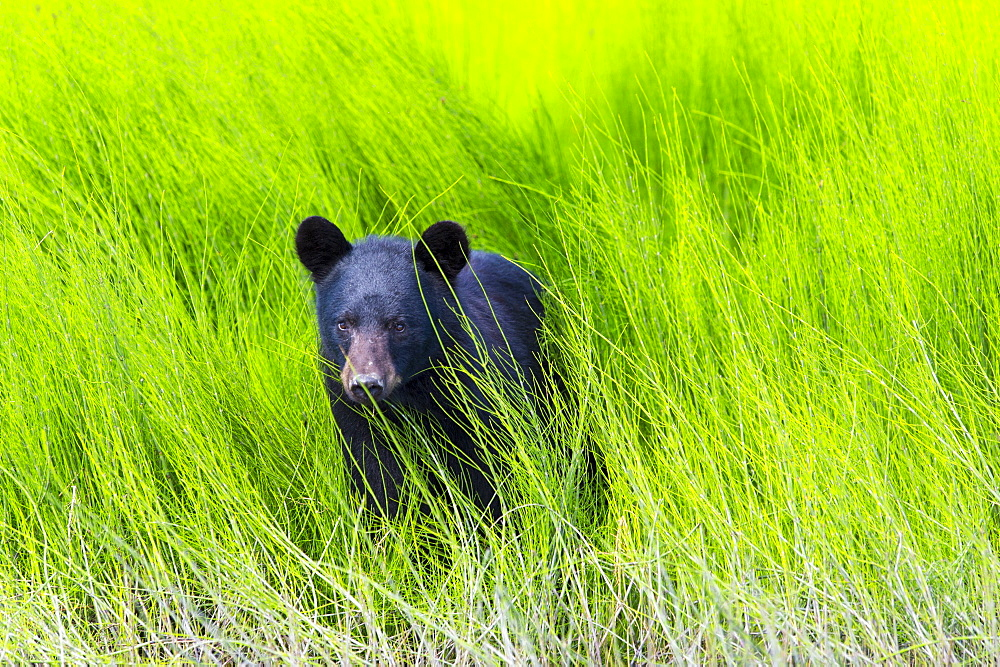 Black Bear (Ursus Americanus) In The Lush Green Grass On The Riverbank, Dawson, Yukon, Canada