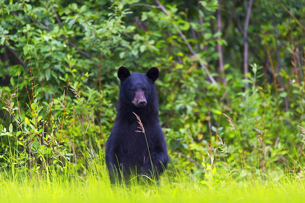 Black Bear (Ursus Americanus) On The Green Grassy Riverbank, Dawson, Yukon, Canada