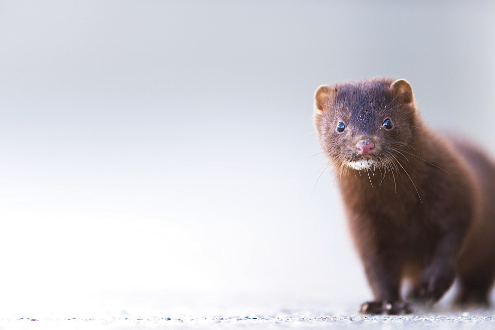 Close Up Of A Mink (Neovison Vison), Valdez, Alaska, United States Of America