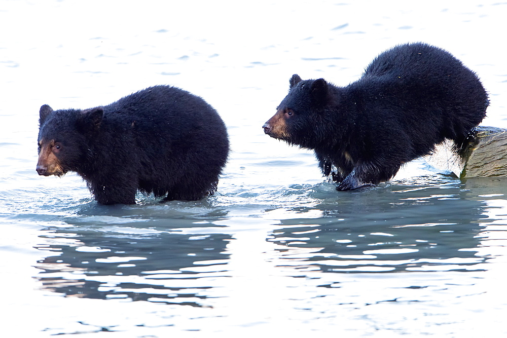 Two Black Bear (Ursus Americanus)Cubs In The Water, Valdez, Alaska, United States Of America