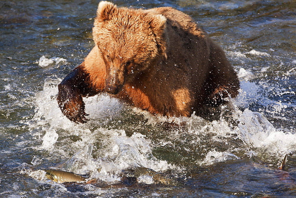 Brown Bear (Ursus Arctos) In Brooks River Below Brooks Falls Clawing At Sockeye Salmon (Oncorhynchus Nerka), Katmai National Park And Preserve, Alaska, United States Of America