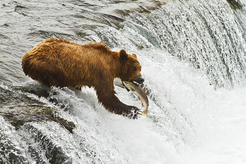 Brown Bear (Ursus Arctos) Sow Catching Sockeye Salmon (Oncorhynchus Nerka) At Brooks Falls, Brooks River, Katmai National Park, Alaska, United States Of America
