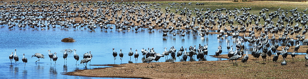 Sandhill Cranes (Grus Canadensis), Whitewater Draw, Arizona, United States Of America