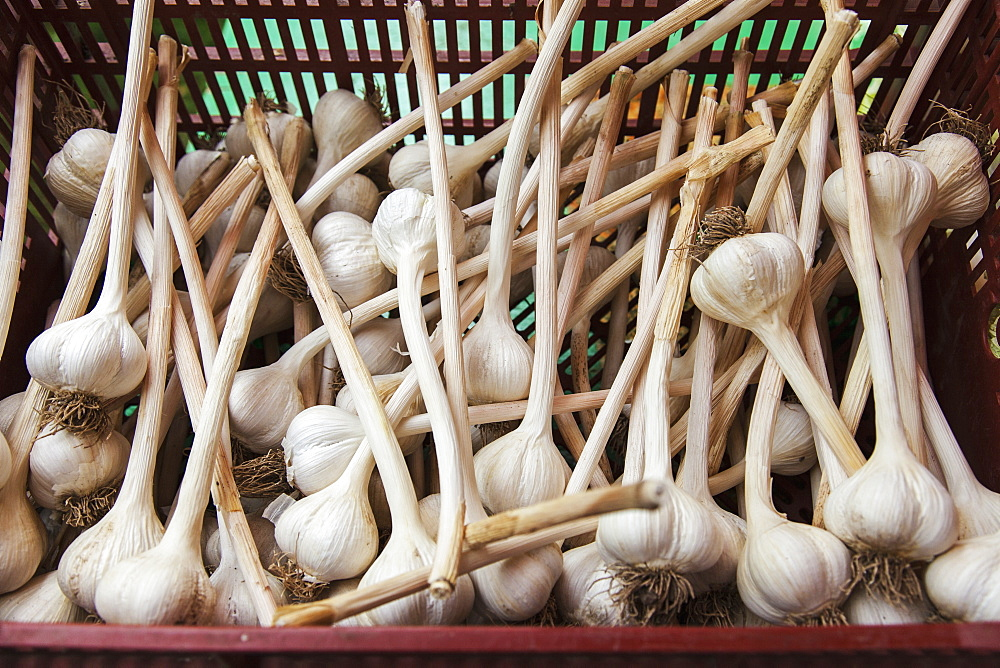 Large Clean Organically Grown Hardneck Garlic Bulbs, Ontario, Canada