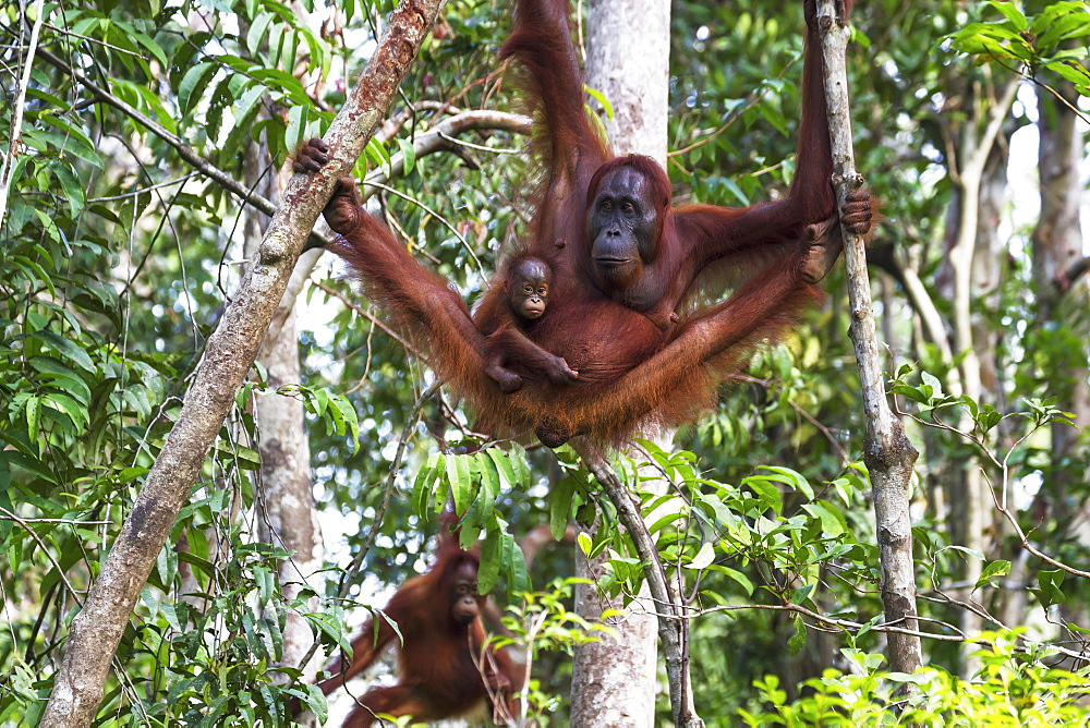 Bornean Orangutan (Pongo Pygmaeus) Mother And Infant At Tangung Harapan, Tanjung Puting National Park, Central Kalimantan, Borneo, Indonesia