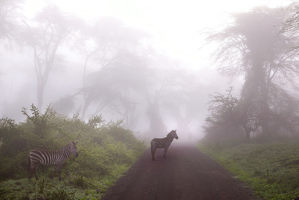 3 Zebras In Foggy Forest At Ngorongoro Crater, Tanzania