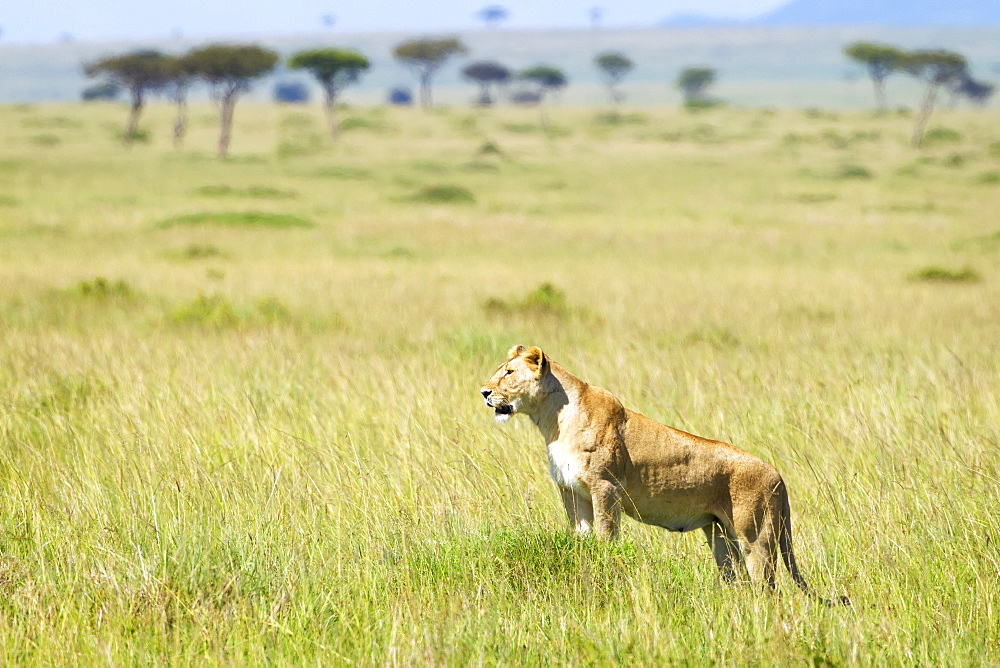Lioness Surveying The Land At The Serengeti Plains, Tanzania
