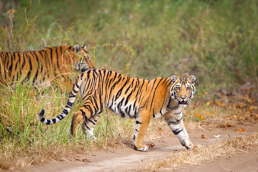 Bengal Tigers (Panthera Tigris Tigris) Walking At The Pench National Park, Madhya Pradesh, India