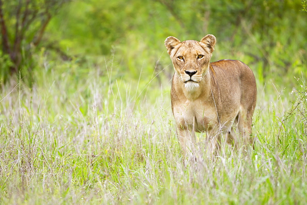 Female Lion On The Prowl At The Serengeti Plains, Staring Directly Into The Camera, Tanzania
