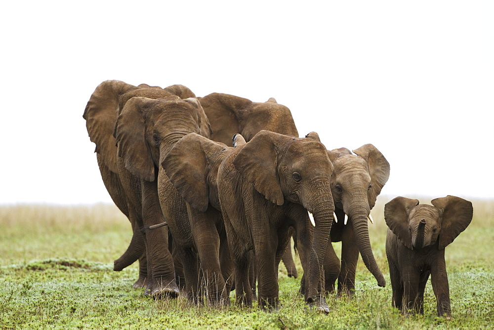 A Family Of Elephants Strolls Across The Serengeti Plains, South Africa