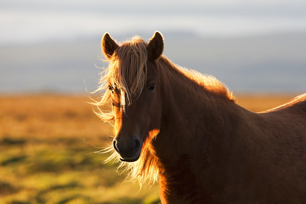 Icelandic Horse At Sunset With Long Mane Blowing In The Wind, Iceland