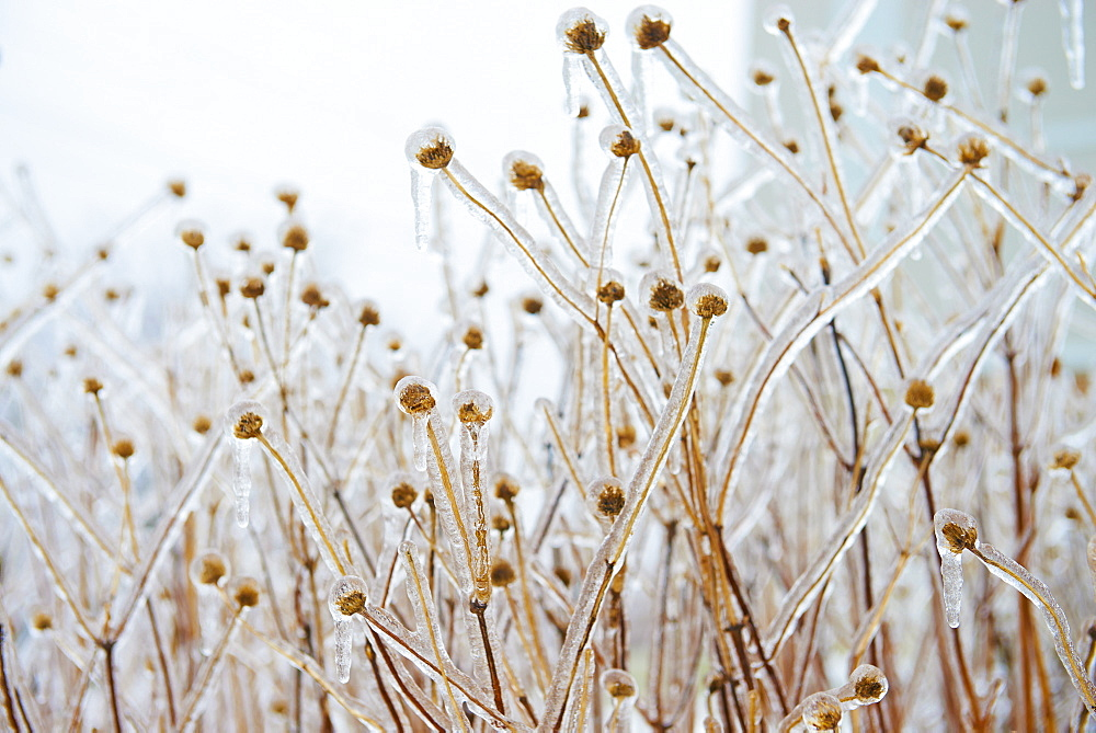 Teasels Covered With Ice, Toronto, Ontario, Canada