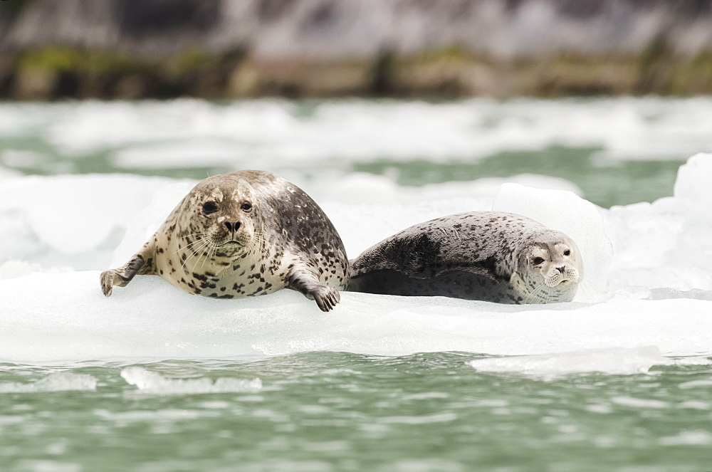 Harbor Seals (Phoca Vitulina) Hauled Out On Iceberg In Front Of Dawes Glacier In Endicott Arm Or Tracy Arm-Fords Terror Wildernesss In Southeast Alaska, South Of Juneau, Alaska, United States Of America