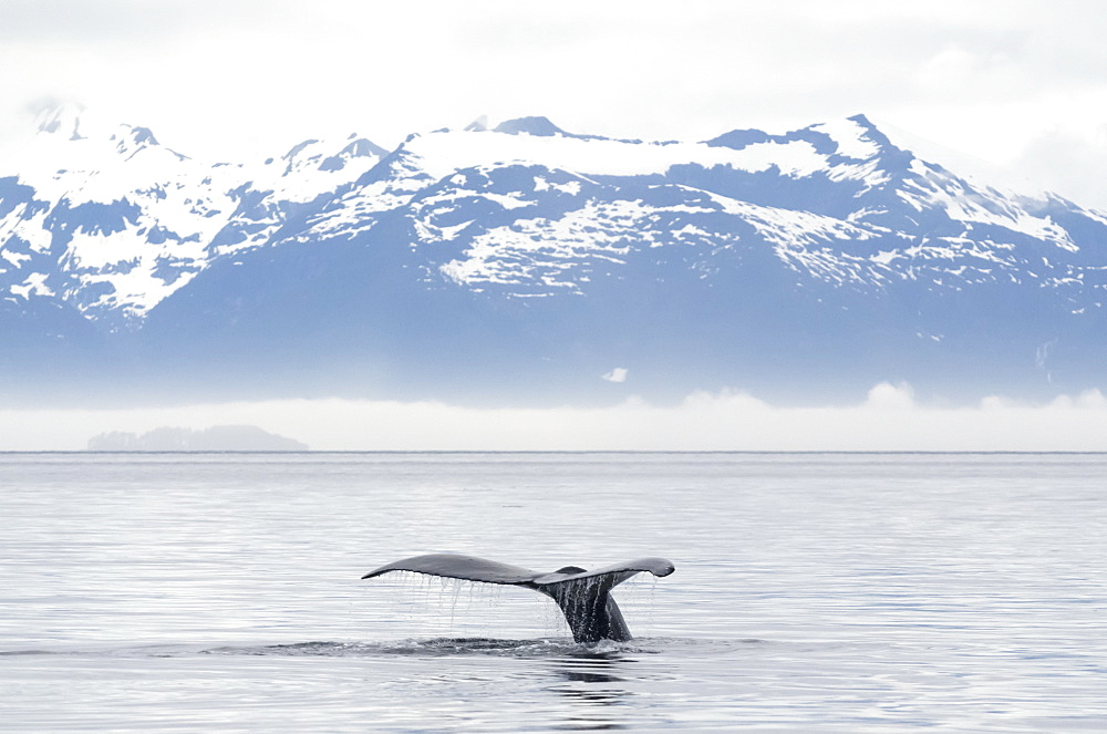 Fluked Tail Of Humpback Whale (Megaptera Novaeangliae) Rises Out Of The Water Just Before Whale Takes Deep Dive In Frederick Sound, Alaska, United States Of America