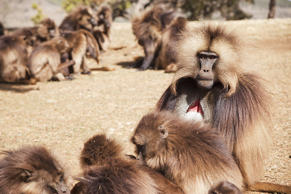 Male Gelada Baboon And Female Harem, Simien Mountains National Park, Simien Mountains, Gondar Province, Amhara Region, Ethiopia