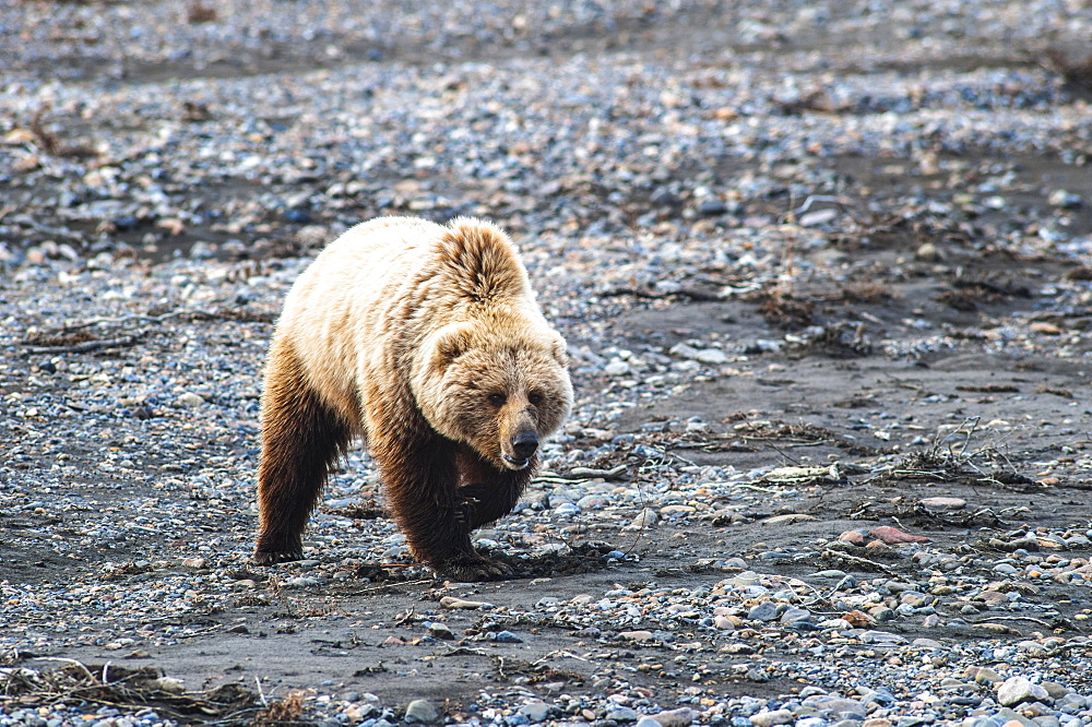 A Grizzly Bear Walking Across The Gravel Bar Of The Teklanika River In Denali National Park On A Spring Day.