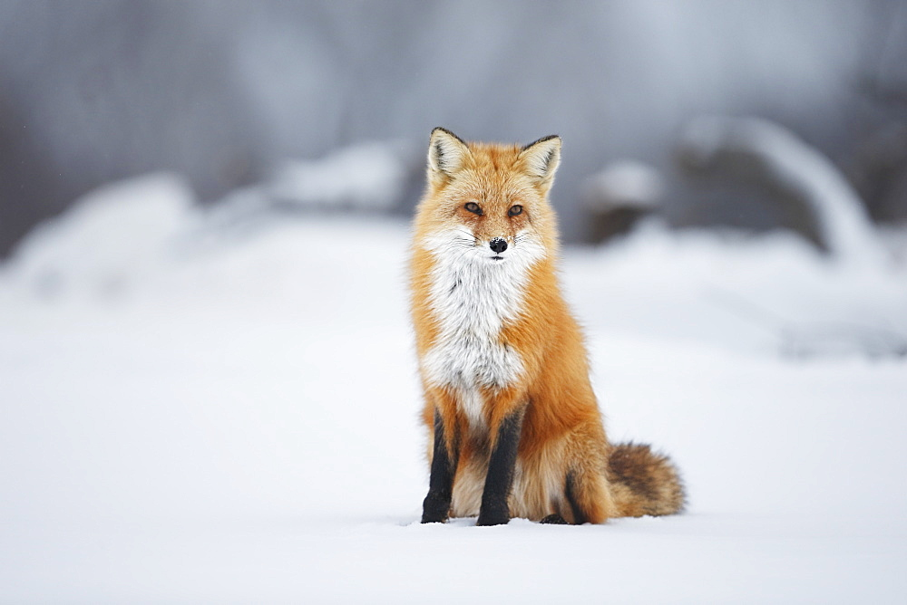 Male Red Fox (Vulpes Vulpes) Sitting In The Snow In Winter, Montreal, Quebec, Canada