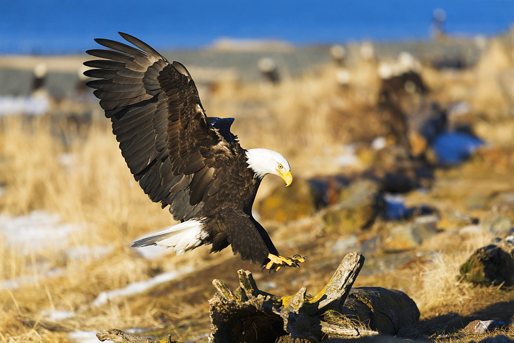 Bald Eagle (Haliaeetus Leucocephalus) Landing On Driftwood, Homer, Alaska, United States Of America