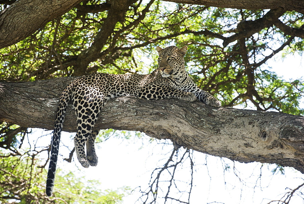 Leopard Sprawled On Tree Limb Near Ndutu, Ngorongoro Crater Conservation Area, Tanzania