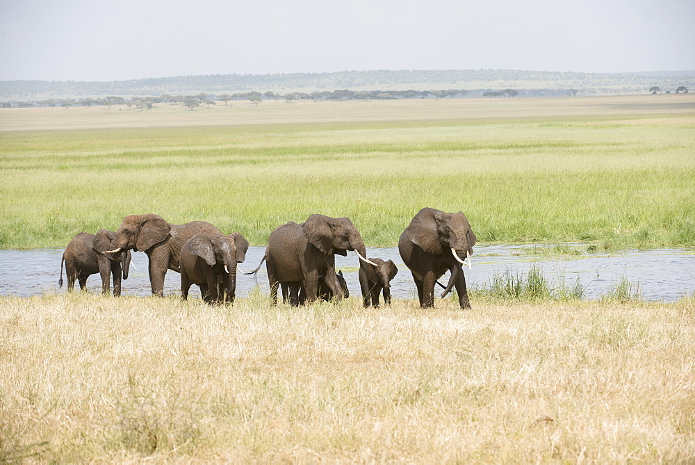 Elephant Family Group In Silale Swamp, Tarangire National Park, Tanzania
