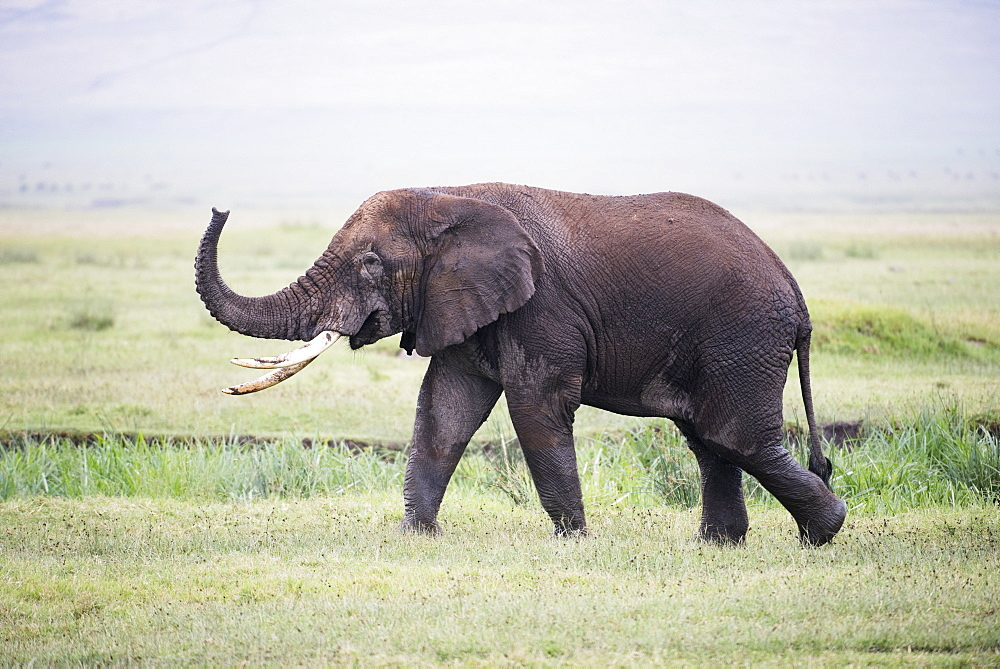 Large Bull Elephant Walks With Raised Trunk In Ngorongoro Crater, Tanzania