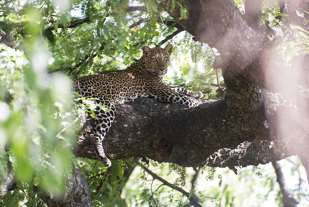 Leopard Resting In Tree In Lake Manyara National Park, Tanzania