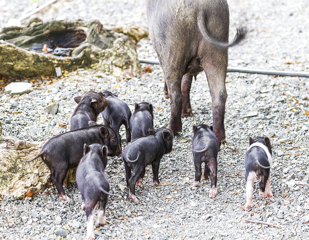 Sow And Piglets, Pulao Asei, Island In Lake Sentani, Papua, Indonesia
