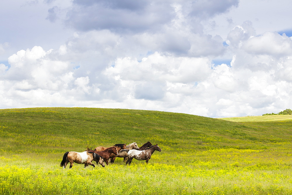 Horses In A Field, Winnipeg, Manitoba, Canada