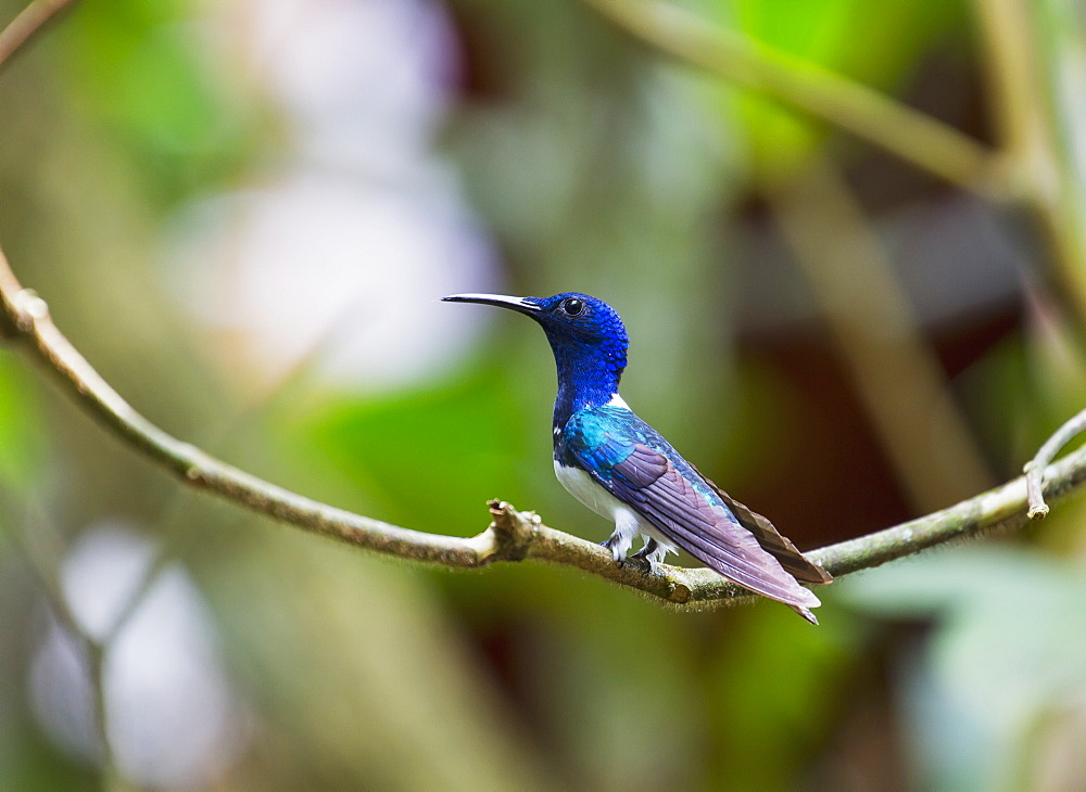 White-Necked Jacobin (Florisuga Mellivora) Hummingbird In The Cloud Forest, Mindo, Pichincha, Ecuador