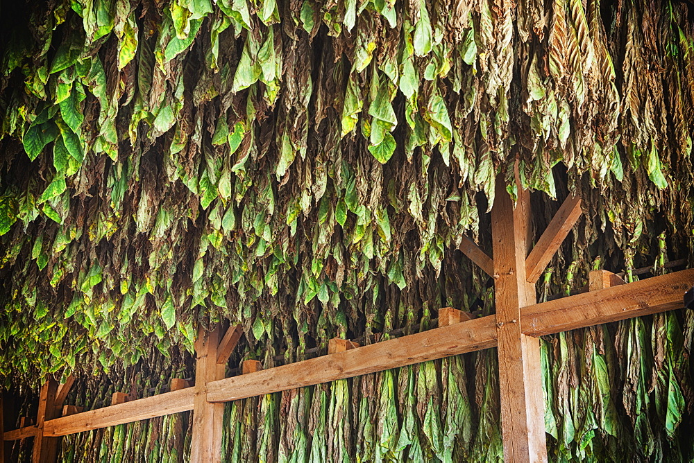 Type 41 Tobacco Drying In Barn In Lancaster County, Pennsylvania, United States Of America