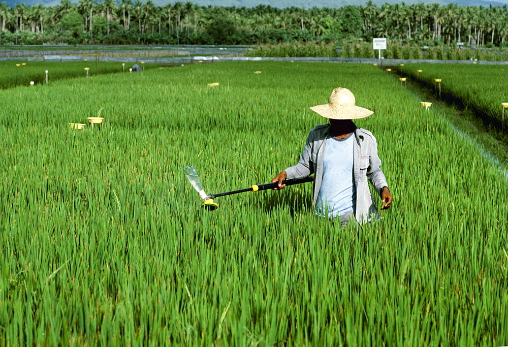 A Worker Applies Chemicals To A Mid-Growth Rice Field With A Hand Applicator, Philippines