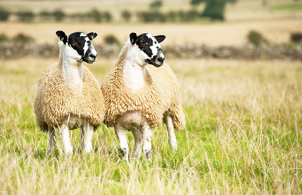 North Of England Mule Lambs Ready For Sale, Cumbria, England