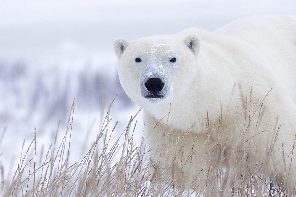 Polar Bear (Ursus Maritimus) Walking Through The Snow And Blizzard Near Churchill, Manitoba, Canada