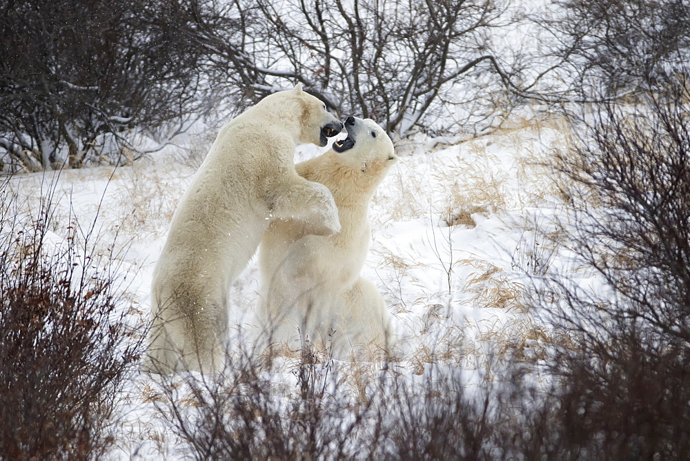 Polar Bears (Ursus Maritimus) Sparring In The Snow During Winter Near Churchill, Manitoba, Canada