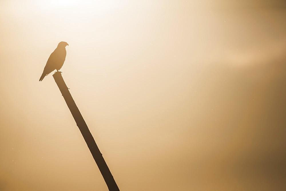 Ferruginous Hawk (Buteo Regalis), Saskatchewan, Canada