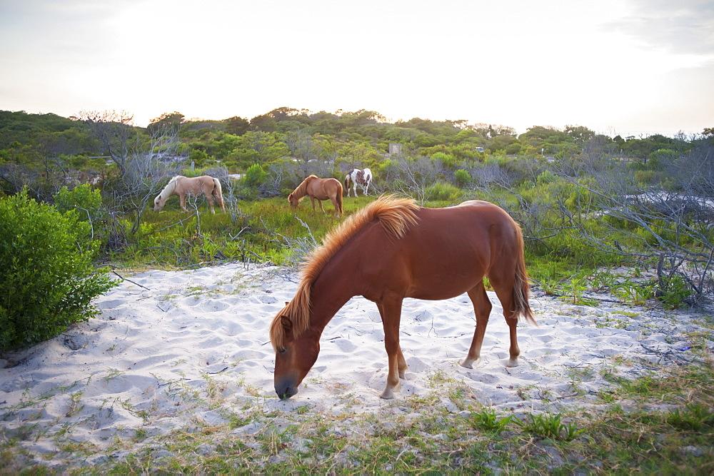 Horses Grazing At Assateague Island National Seashore, Maryland, United States Of America
