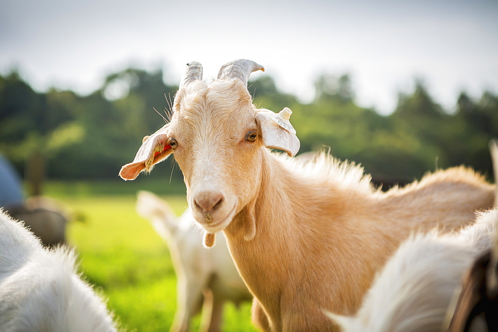 Goat Portrait, Keedysville, Maryland, United States Of America