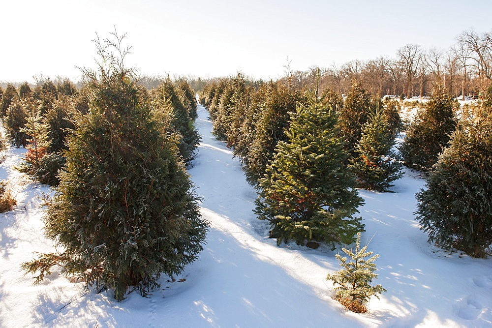 Christmas Tree Farm, Minnesota, United States Of America