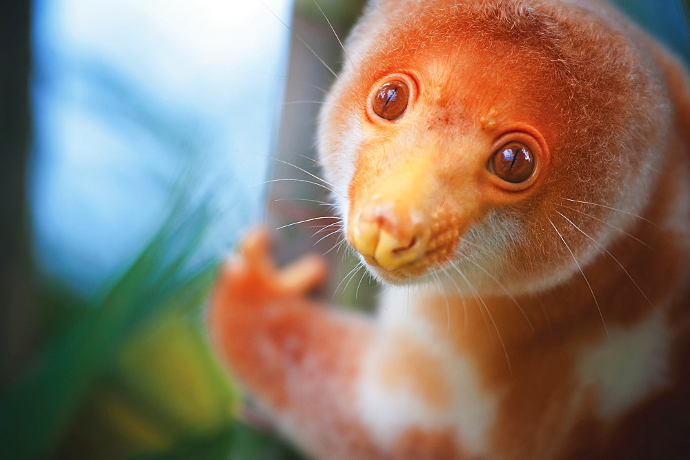 A Cuscus (Papua New Guinea Tree Possum), Papua New Guinea