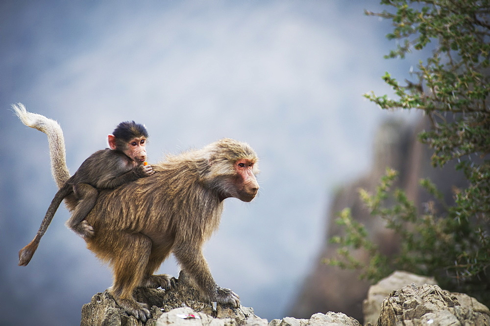 Mountain Monkeys, Taif, Saudi Arabia