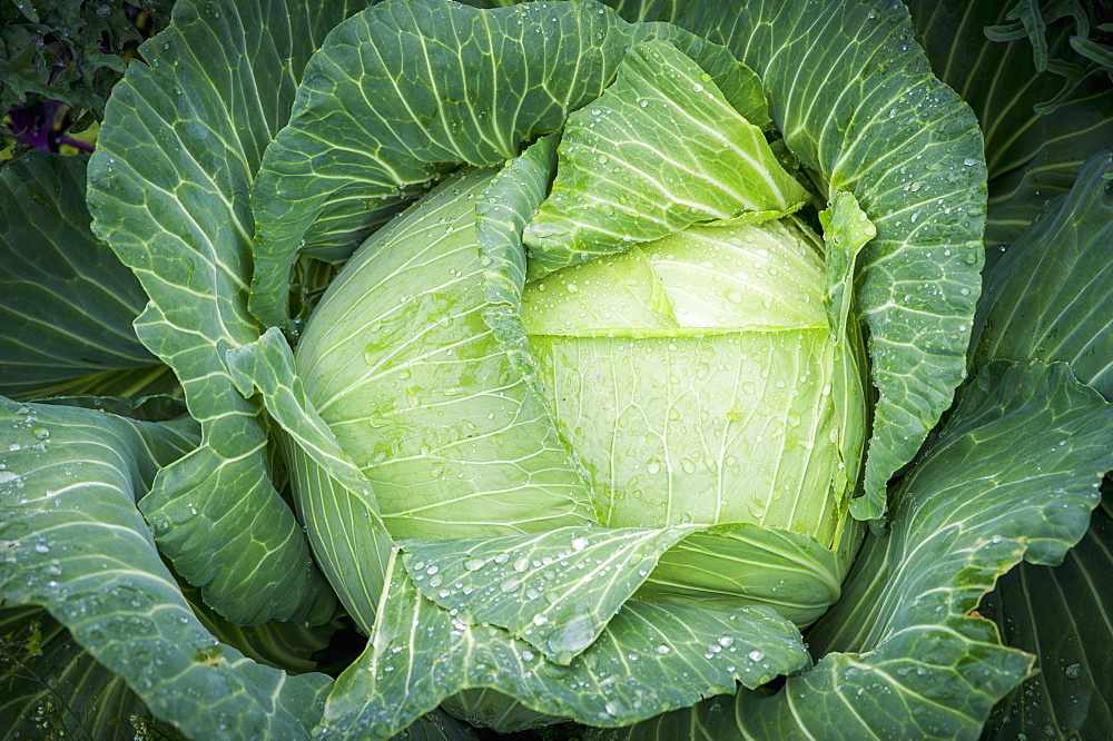 Cabbage (Brassica Oleracea) Covered In Dew, Fairbanks, Alaska, United States Of America